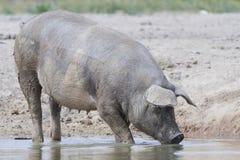 Porco doméstico fotos de stock