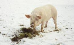 Porco doméstico, animal de exploração agrícola que come a grama imagem de stock