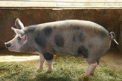 Porco doméstico bonito fotos de stock