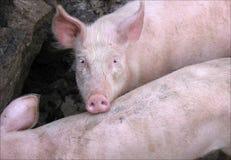 Porco doméstico cor-de-rosa Imagens de Stock