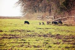 Porco doméstico no prado verde Imagens de Stock Royalty Free