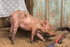 Porco doméstico pequeno imagens de stock