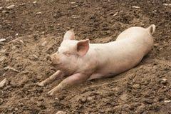 Porco doméstico que descansa na lama fotografia de stock royalty free