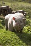 Porco domesticado imagem de stock royalty free