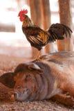 Porco e galo pretos fotos de stock royalty free