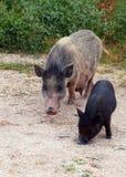 Porco e leitão atrativos como um símbolo de 2019 anos Imagem de Stock