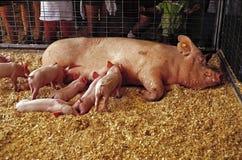 Porco e maca foto de stock