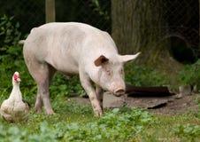 Porco e pato na exploração agrícola imagem de stock