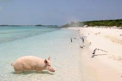 Porco em férias Imagem de Stock Royalty Free