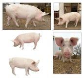 Porco em uma exploração agrícola Imagens de Stock Royalty Free