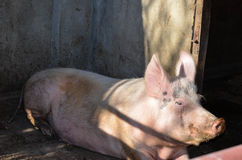 Porco em uma exploração agrícola Foto de Stock Royalty Free