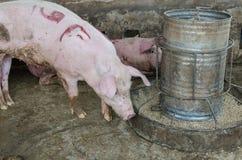 Porco em uma exploração agrícola Imagem de Stock Royalty Free