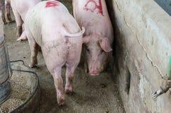 Porco em uma exploração agrícola Fotografia de Stock