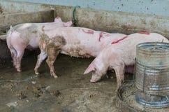 Porco em uma exploração agrícola Imagens de Stock