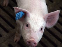 Porco em uma exploração agrícola de porco em Sibéria oriental fotos de stock