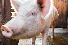 Porco em uma exploração agrícola que olha a objetiva foto de stock