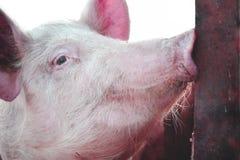 Porco em uma exploração agrícola que olha a objetiva fotos de stock
