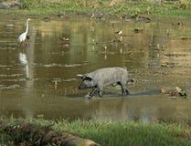 Porco em uma lagoa Imagem de Stock Royalty Free