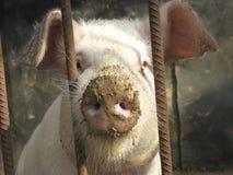 Porco engraçado Imagens de Stock