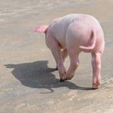 Porco engraçado, vista traseira Imagem de Stock