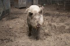 Porco enlameado fotografia de stock
