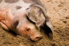 Porco fêmea (domestica do scrofa do Sus) Fotografia de Stock Royalty Free