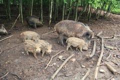 Porco famuly Imagem de Stock