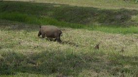 Porco farpado de Bornean com seus bebês novos vídeos de arquivo