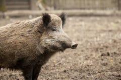 Porco feroz do único varrão na exploração agrícola respeitoso orgânica das trocas de carícias Foto de Stock
