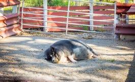 Porco gordo, preguiçoso Imagem de Stock