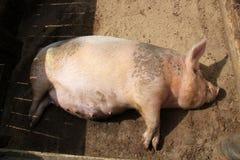 Porco grávido Foto de Stock Royalty Free