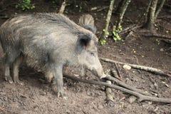 Porco grande Imagem de Stock