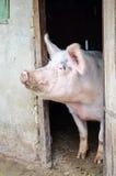 Porco grande Fotografia de Stock