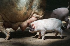 Porco grande que alimenta leitão pequenos Imagens de Stock