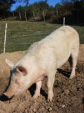 Porco Homebred Immagine Stock Libera da Diritti
