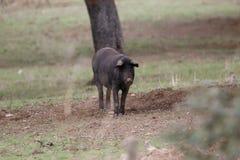 Porco ibérico Fotos de Stock