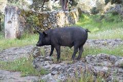Porco ibérico em um trajeto de pedra Imagens de Stock Royalty Free