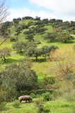 Porco ibérico no prado, Espanha Fotografia de Stock