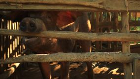 Porco masculino, varrão, sendo aumentado em uma pena de porco da madeira, andando para trás adiante e tentando morder através de  vídeos de arquivo