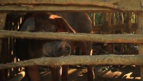 Porco masculino, varrão, sendo aumentado em uma pena de porco da madeira, andando para trás adiante e tentando morder através de  video estoque