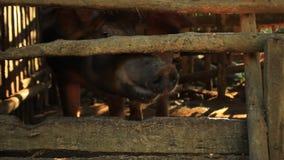 Porco masculino, varrão, sendo aumentado em uma pena de porco da madeira, andando para trás adiante e tentando morder através de  filme