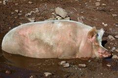 Porco na cavidade 01 da lama Imagens de Stock Royalty Free