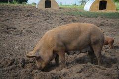 Porco na exploração agrícola Fotografia de Stock Royalty Free