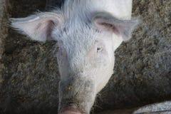 Porco na exploração agrícola Fotografia de Stock