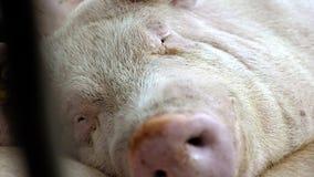 Porco na exploração agrícola de porco Retrato do porco video estoque