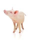 Porco no branco Fotos de Stock