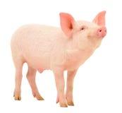 Porco no branco Imagens de Stock Royalty Free