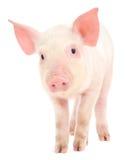 Porco no branco Imagem de Stock Royalty Free