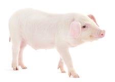 Porco no branco Imagens de Stock
