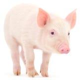 Porco no branco Fotos de Stock Royalty Free